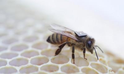 Moria degli insetti: Intel mette un chip a bordo delle api